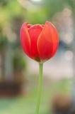 Tulipa vermelha e amarela imagens de stock