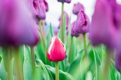 A tulipa vermelha e branca bonita do jardim que forma entre o campo de tulipas roxas triunfa tulipas Folhas e hastes verde-clara  foto de stock