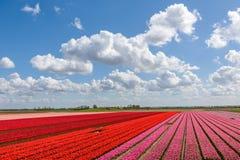 A tulipa vermelha e cor-de-rosa bonita coloca sob um céu nublado azul Fotos de Stock Royalty Free