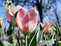Tulipa vermelha em um fundo de um parque da mola e de umas flores sazonais Foto de Stock