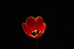 Tulipa vermelha em um fundo preto Fotografia de Stock