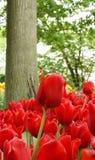 Tulipa vermelha ereta Fotografia de Stock Royalty Free