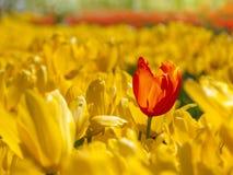 A tulipa vermelha está para fora no campo de tulipas amarelas Fotos de Stock Royalty Free