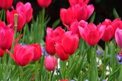 Tulipa vermelha inteiramente florescida fotos de stock