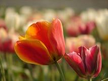 Tulipa vermelha na flor Imagem de Stock Royalty Free
