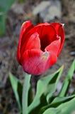 Tulipa vermelha no jardim Imagem de Stock
