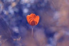 Tulipa vermelha só no fundo borrado azul Foco macio seletivo imagens de stock royalty free