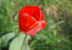 Tulipa vermelha, vista lateral Imagens de Stock