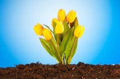 tulipanów kwiatów glebowy tulipan zdjęcie stock