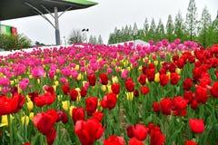 Tulipanów kwiaty Obrazy Stock