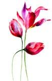 Tulipanów kwiaty Zdjęcia Stock
