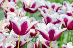 Tulipanów kwiaty purpurowi z bielem w polu Zdjęcie Stock