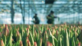 Tulipanów pączki w glasshouse z pracownikami zbiory