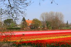 Tulipanów pola blisko Keukenhof obrazy royalty free