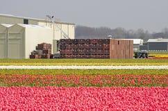 Tulipanów pola w Holandia i rolnych budynkach zdjęcie royalty free
