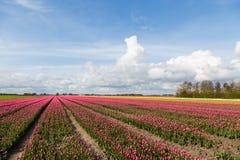 Tulipanów pola w wsi w holandiach Zdjęcia Royalty Free