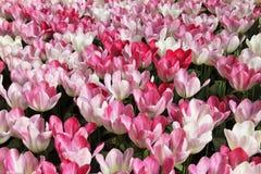 Tulipanów purpury i biały kwiaty łąkowi Fotografia Royalty Free