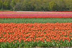 Tulipanów turyści i pole Fotografia Royalty Free