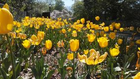 Tulipan季节 库存照片