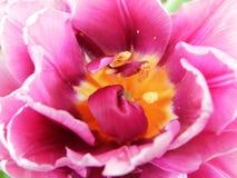 Tulipan photo libre de droits