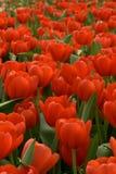 tulipan zdjęcie stock
