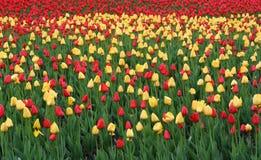 tulipan fotografia stock