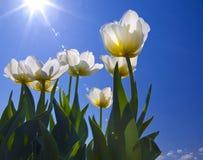 tulipan Zdjęcia Royalty Free