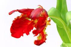 Tulipan 21 Obraz Royalty Free