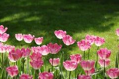 tulipan Fotografia Royalty Free