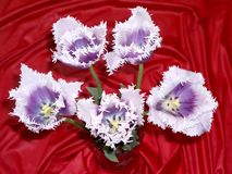 Tulipan 4 Fotografia Royalty Free