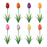 Tulipan royalty ilustracja