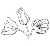01 tulipan Zdjęcia Royalty Free