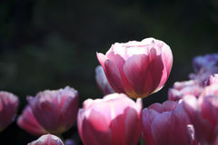 Tulipan 01 obrazy royalty free