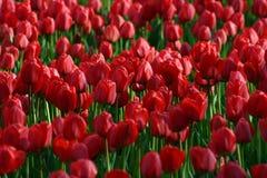 tulipan Zdjęcie Royalty Free