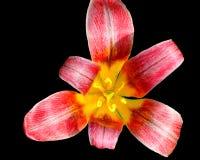 Tulipan Obraz Royalty Free
