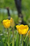Tulipan Obrazy Royalty Free