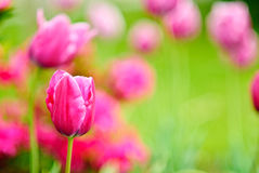 Tulipan background Royalty Free Stock Image
