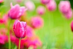 tulipan bakgrund Royaltyfri Bild