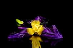 Tulipan on black background Stock Photo