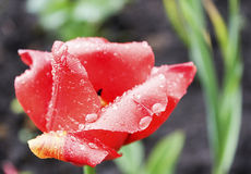 Tulipan blaknie obrazy royalty free