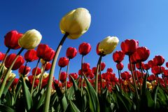 tulipan bostonu Zdjęcie Stock