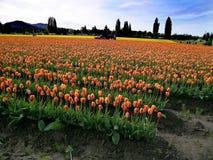 tulipan ciągnika w terenie zdjęcia stock