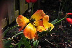 Tulipan dekoruje ciocin ` s przydziału ogródu inAmsterdam zdjęcie royalty free