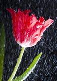 tulipan deszcz Obrazy Stock