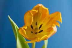 Tulipan głowa Obraz Royalty Free