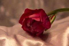 Tulipan i jedwab Zdjęcia Royalty Free