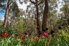 Tulipan i krzak Zdjęcia Royalty Free