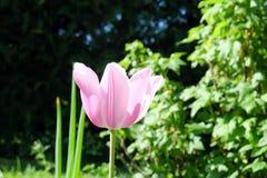 Tulipan, kochany Zdjęcia Stock