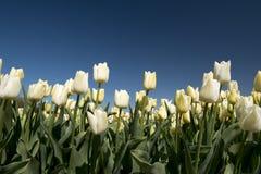 Tulipan kultura obrazy stock