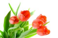 tulipan kwiatów obrazy royalty free